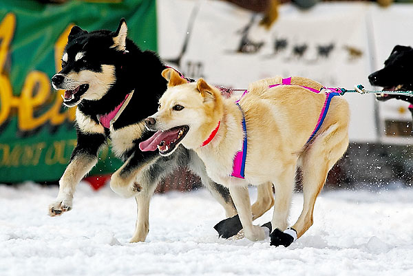 04 March 2006: Anchorage, Alaska - The lead dogs of  5 time winner  Rick Swenson fly down the road as they head out during the Ceremonial Start in downtown Anchorage of the 2006 Iditarod Sled Dog Race