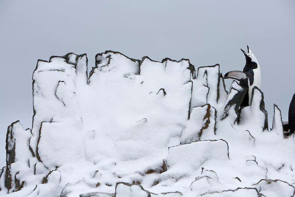 Antarctica, Half Moon Island, Chinstrap Penguins in snow-covered rookery on cloudy morning