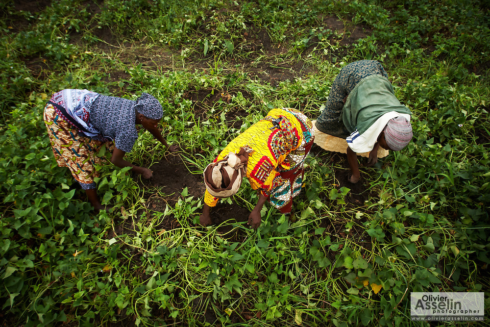 Mwanaidi Ramadhani (C) and Theresa Mathias (L) harvest sweet potatoes on a farm run by a local farmer's group in the village of Mwazonge, roughly 30km southwest of Mwanza, Tanzania on Sunday December 13, 2009..
