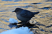 American dipper on a pond along the Yaak River during sub zero temperatures in early winter. Yaak Valley in the Purcell Mountains, northwest Montana.