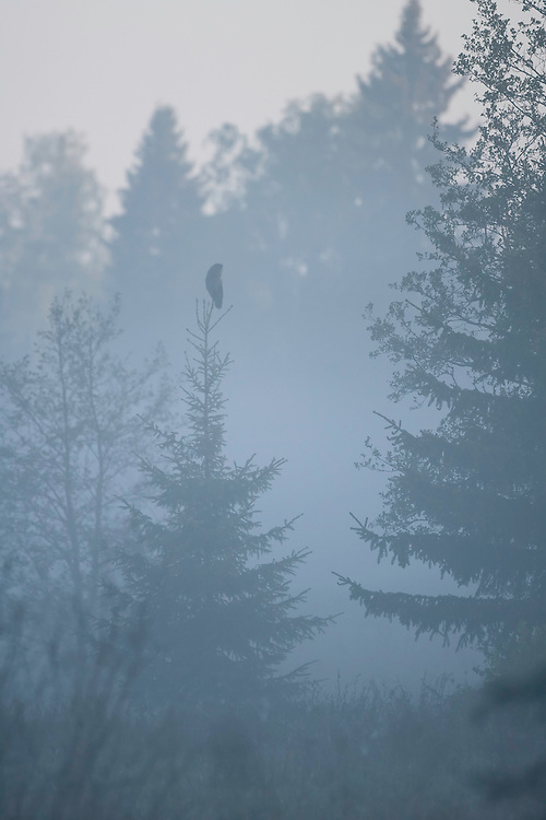 Great grey owl (Strix nebulosa) perched on tree in dawn mist, Bergslagen, Sweden.