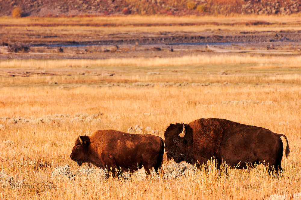 USA, Yellowstone National Park (WY)<br /> Bison (Bison bison) bull and calf in Hayden Valley