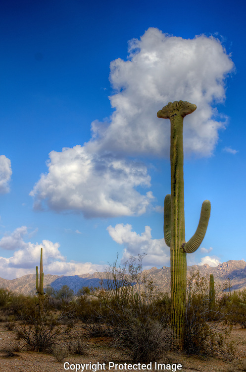 The Crested or Cristate Giant Saguaro cactus is rare and protected by Arizona State Law