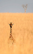 Giraffe (Giraffa camelopardalis) on the savannah of Murchison Falls, Uganda.