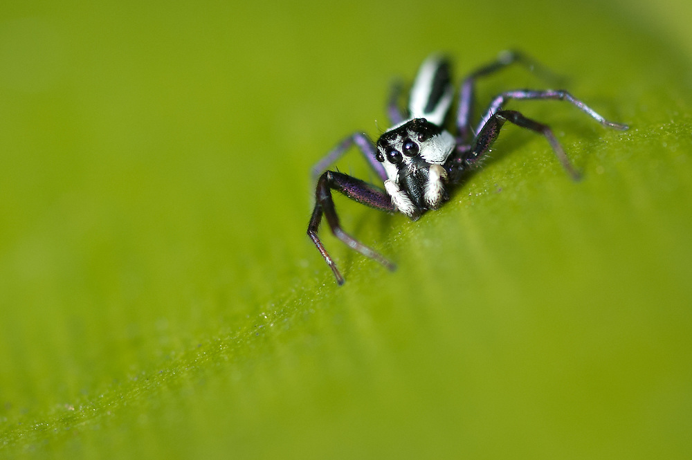 Close up photograph of a male black and white striped jumping spider (Telamonia festiva) in North Sulawesi, Indonesia