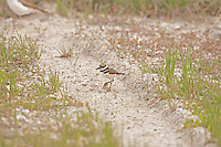 Young Killdeer chick explores its new surroundings around the nest.
