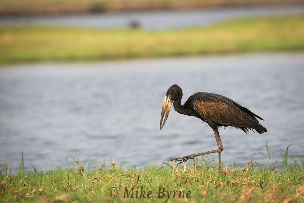 African open bill stork in Chobe National Park.