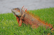 This is a photograph of an Iguana in the grass.  This was taken at Daggerwing Nature Center in Boca Raton, Florida.