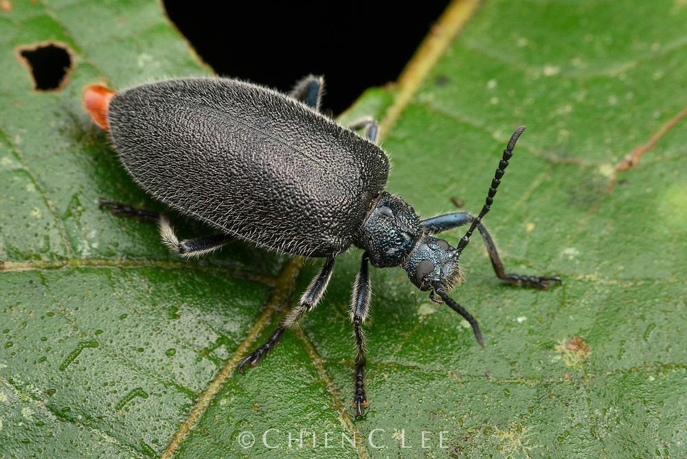 Darkling beetle (Cerogria sp.). Sarawak Malaysia