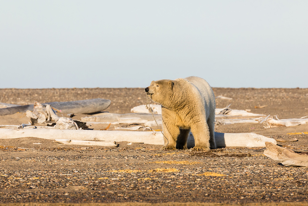 Polar Bear (Ursus maritimus) playing with rope on barrier island along Beaufort Sea  in Kaktovik, Alaska. Autumn. Afternoon.
