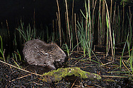 European beaver (Castor fiber) feeding at night, Knapdale Forest, Argyll, Scotland.
