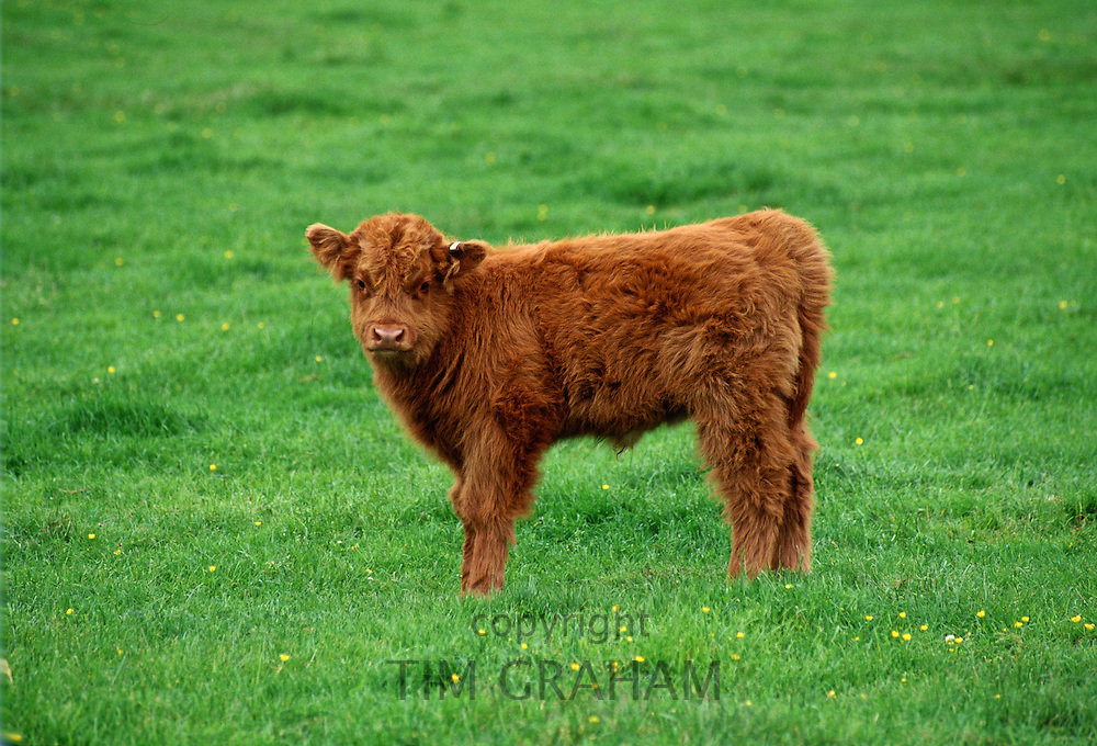 Highland Cattle Calf, Scotland, United Kingdom.