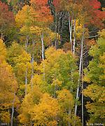 Tall Aspens near Mt. Wilson. San Juan National Forest, Colorado - 9/29/2011.