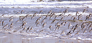 Seagull Flock Flying By the Surf