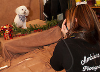 """Lora Jenkins Bichon Frise """"Lucie"""" strikes a pose for photographer Mary Boudreau at Prescott's Florist on Saturday afternoon.  (Karen Bobotas/for the Laconia Daily Sun)"""