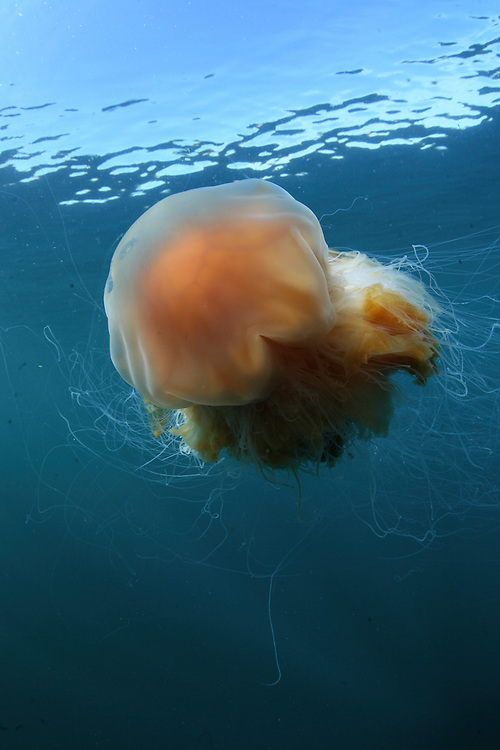 Lion&acute;s mane jellyfish (Cyanea capillata); in the area of the Island of Mull; Scotland. June 2009.<br /> Mission: Basking Sharks<br /> Location: Scotland, off the Island of Mull (Coll and Tiree Islands area) - June 2009