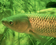 Grass Carp<br />