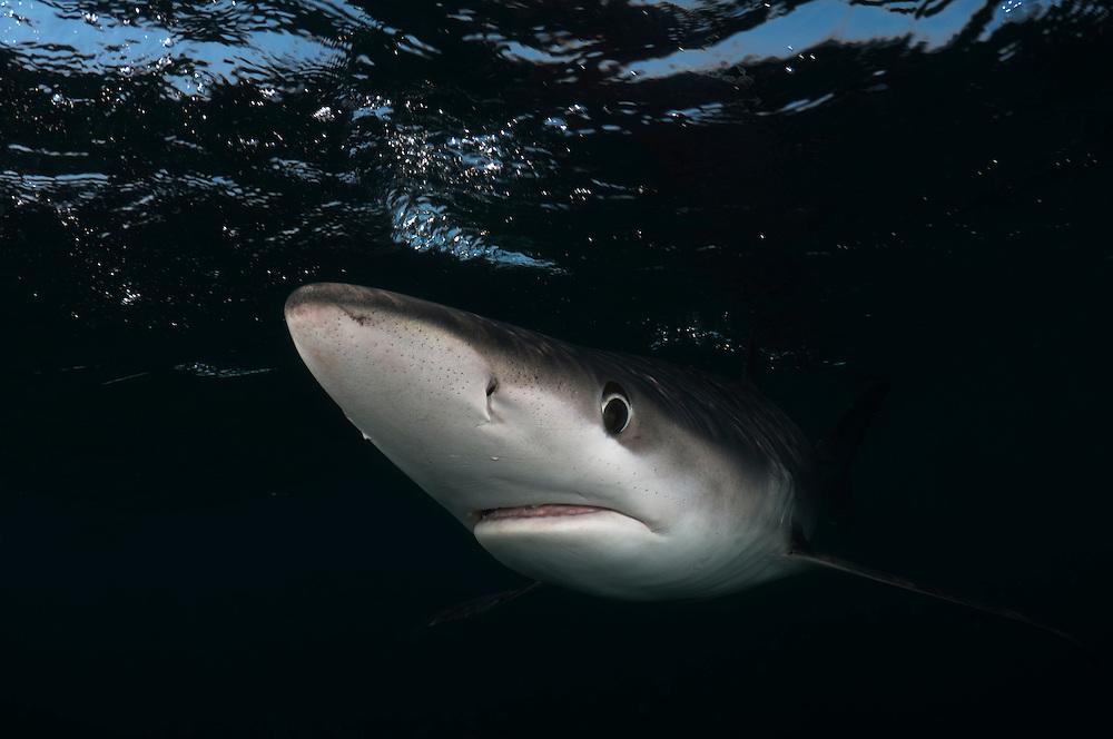Blue Shark on dark background