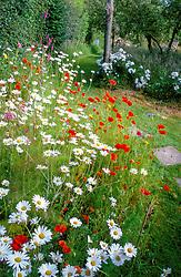 Wildflower area of poppies ( Papaver rhoeas ) ox eye daisies ( Leucanthemum vulgare ) and foxgloves ( Digitalis purpurea ) at Ketley's