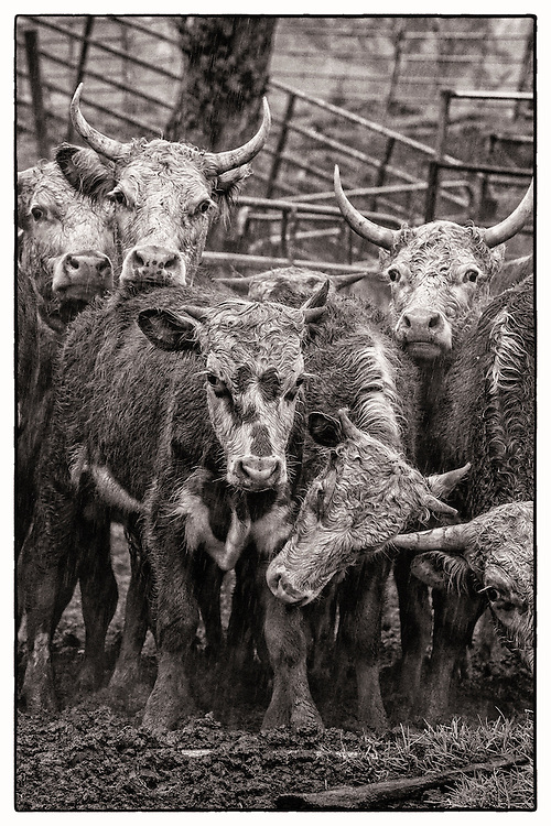 Wild cattle after being herding into pen trap on the slopes of Mauna Kea.