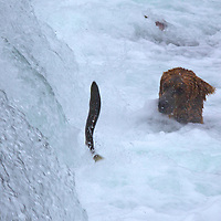 USA, Alaska, Katmai. Brown Bear and jumping salmon at Brooks Falls, Katmai National Park, Alaska.
