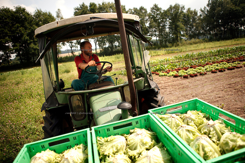 Gärtnermeister Klaus Verbeck fährt die Ernte ein. Mit dem alten Feldt-Traktor bringt er Kopfsalate zum Kühlkeller des Gärtnerhof Bienenbüttel