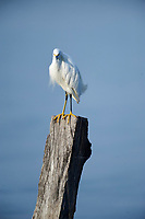 Snowy egret (Egretta thula) perched on post in Lake Chapala, Ajijic, Jalisco, Mexico