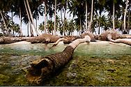 Stigende vandstand og jorderosion har fået disse palmer til at vælte i havet. Klimaforandringerne kan få store dele af Maldiverne til at forsvinde. Maldiverne, der ligger ud for Indiens sydspids, er et af de lande i verden, der er mest truet af klimaforandringerne og stigningen i havenes vandstand. FN skønner, at store dele af Maldiverne vil være forsvundet i 2100. Der bor 350.000 mennesker på Maldiverne. Det højeste punkt for de 1190 koraløer er 2,4 meter over havets overflade.