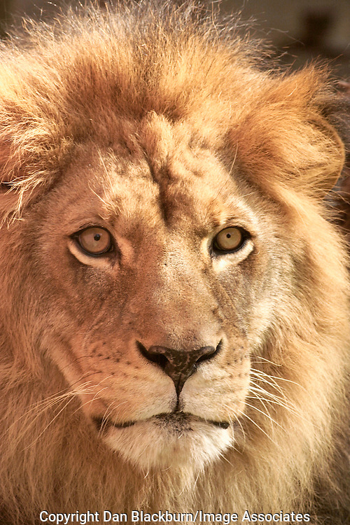 Close up of the face of a male African lion.