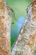 Common House Gecko (Hemidactylus frenatus) perched on tree trunk. Kui Buri National Park. Thailand.