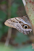 This is a photograph of an Owl butterfly ascending the branch.