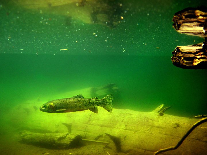 Greenback cuthroat trout, like the one seen here in Dream Lake in Rocky Mt. Nat'l Park were at one time thought to be extinct, but through a successful reintroduction program they have now been upgraded to threatened.