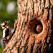Great spotted woodpecker feeding young, nest in Oak tree, Oxfordshire UK