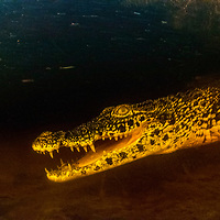 A critically endangered Cuban crocodile (Crocodylus rhombifer) underwater in a swamp in Cuba. As sea levels rise they are increasingly coming into contact with American crocodiles and interbreeding.