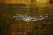 Beaver, Castor canadensis; swimming, carrying grass, pond, tundra, taiga, autumn, Denali National Park, Alaska, ©Craig Brandt, all rights reserved; brandt@mtaonline.net