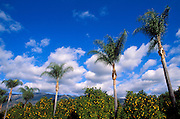 Palm trees and orange groves in Ojai Valley, Ojai, California