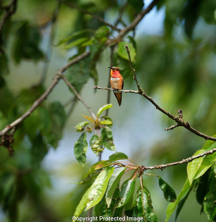 Rufus Hummingbird. Selasphorus rufus, Courtenay, British Columbia, Canada, Photographer - Isobel Springett