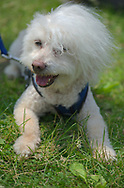 Old Westbury, New York, USA. June 2, 2019. SAMMY, a 14-year-old Bichon Poo, a Bichon Poodle cross (Bichapoo), with white wooly hair blowing in the wind, wears a blue harness, sits on the grass, and is on a leash held by 'mom' Debbie Dugan, of Glen Head, as he looks around at the 53rd Annual Spring Meet Antique Car Show. Dugan entered her 1951 Chevy pickup truck in the show. Event was sponsored by the Greater NY Region (NYGR) of the Antique Automobile Club of America (AACA), at Old Westbury Gardens, a Long Island Gold Coast estate.