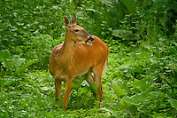 Another beautiful photo of the doe finishing eating a piece of vegetation.