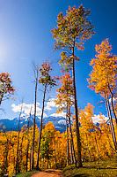 An aspen grove in autumn in the San Juan Mountains near Ridgway, Colorado USA.