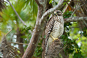 Wild, non-captive, non-habituated Juvenile Red-shouldered Hawk (Buteo lineatus) in Everglades National Park, Florida