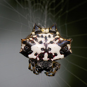 Gasteracantha kuhli. Spiny orb-weaver is a common name for Gasteracantha, a genus of spiders. They are also commonly called Spiny-backed orb-weavers, due to the prominent spines on their abdomen.