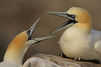 Gannets (Morus bassanus) fighting, Saltee Islands, Ireland