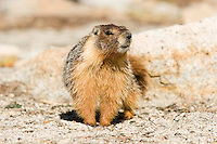 Portrait of a marmot in the Yosemite backcountry.