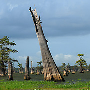 Trunks of ancient cypress still stand after this section of swamp was logged decades ago. A swamp tour like the Atchafalaya Experience allows you to tour beauty and vastness of the Atchafalaya Basin.  Photo by Lori Waselchuk