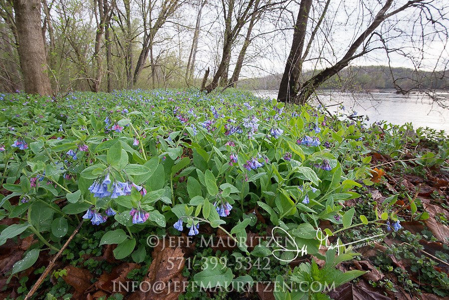 Bluebells blooming along the Potomac River in Virginia.