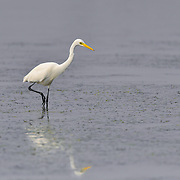 The intermediate egret, median egret, smaller egret, or yellow-billed egret (Ardea intermedia) is a medium-sized heron. Some taxonomists put the species in the genus Egretta or Mesophoyx. It is a resident breeder from east Africa across the Indian subcontinent to Southeast Asia and Australia