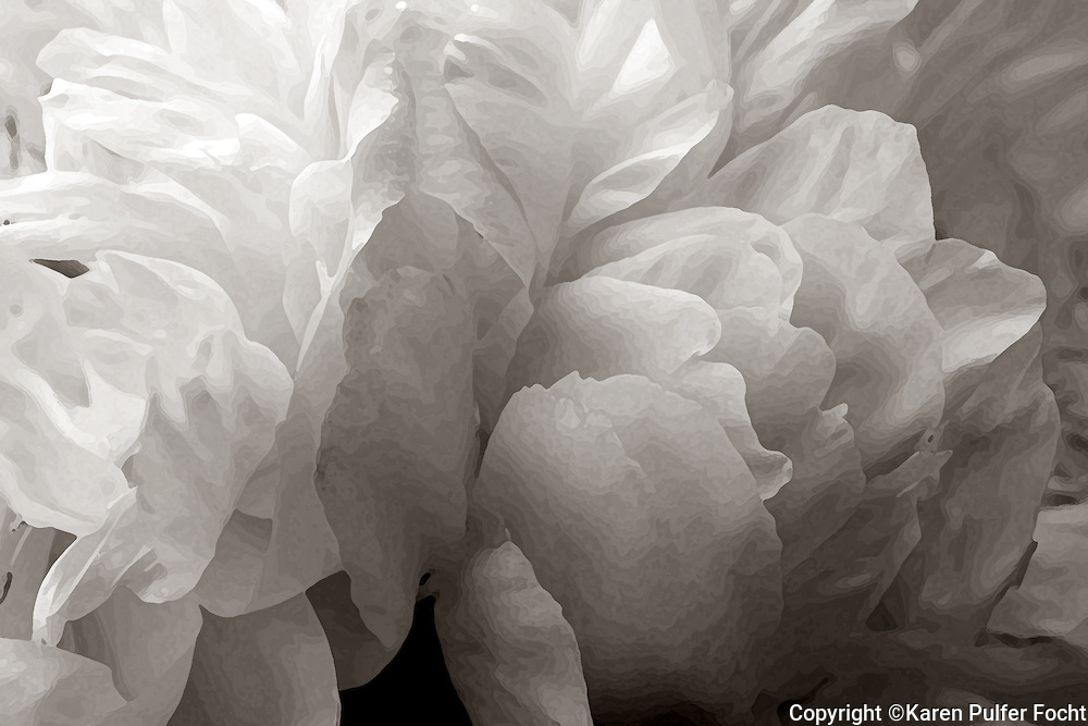 Black and White Peony.