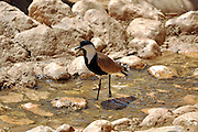 Spur-winged Lapwing or Spur-winged Plover (Vanellus spinosus) Israel Spring March 2010