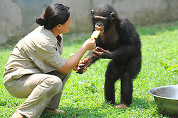 60263653  <br /> A staff member feeds a gorilla ice lolly to relieve the summer heat at the zoo of Yangzhou, east China's Jiangsu Province, July 31, 2013. Staff members of the park provided ice, fruits as well as air conditioners to animals Wednesday here to help them cope with the relentless heat in Yangzhou, China<br /> Wednesday, July 31, 2013<br /> Picture by imago / i-Images<br /> UK ONLY